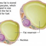 Bodyfat Isn't Just Stored Energy, It's An Endocrine Tissue